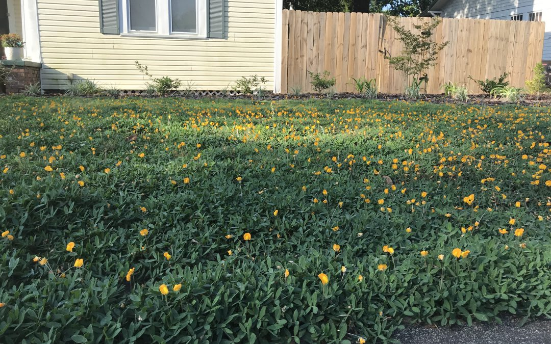 Perennial Peanut Lawn:  Two Years Later