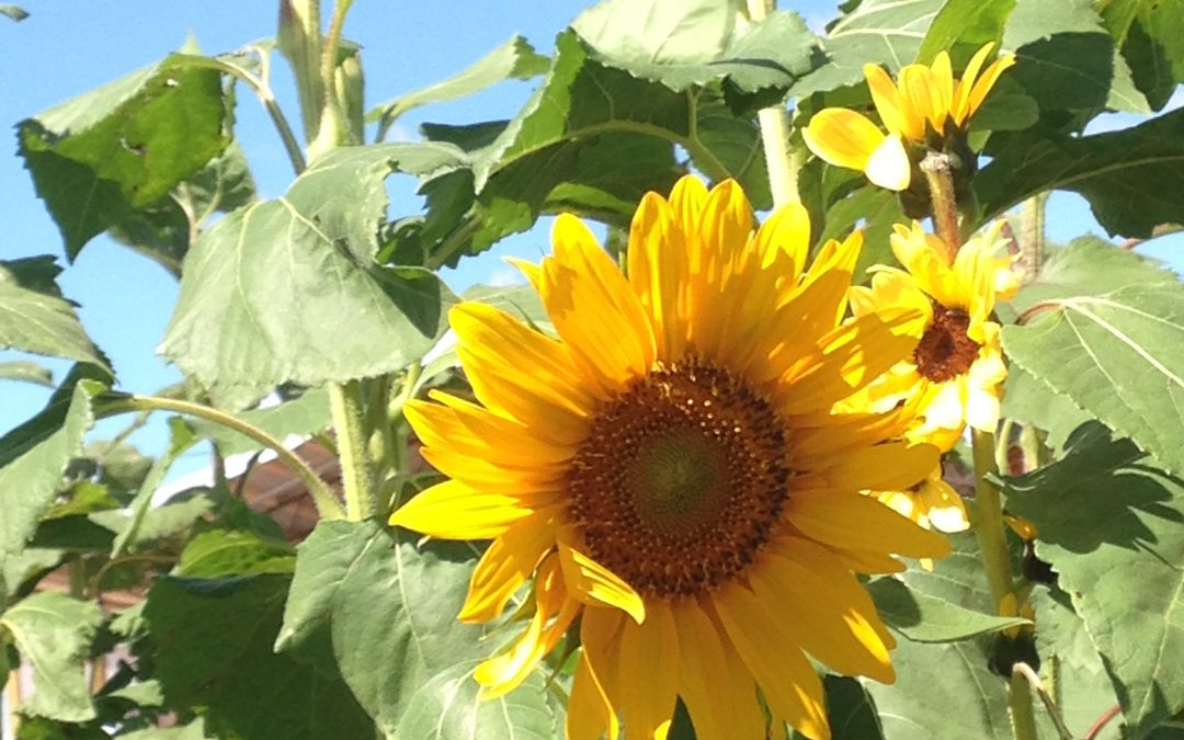 Garden Ideas – Les Furr's Sunflower Screen