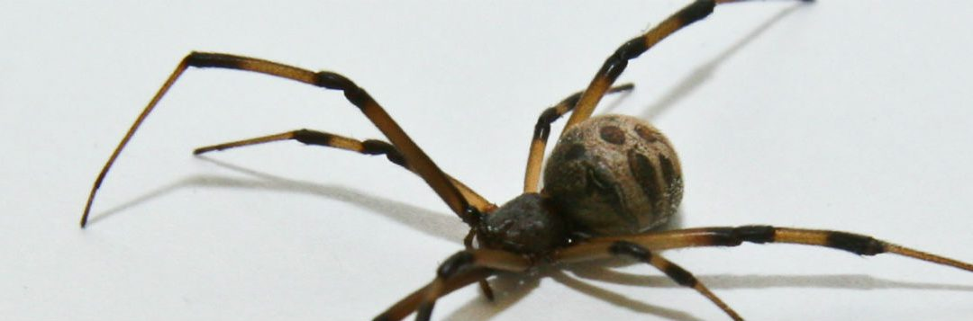 Be Aware of Brown Widow Spiders