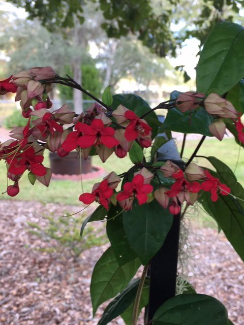 Surprise Showstopper, Bleeding Heart Vine (Clerodendrum thomsoniae)