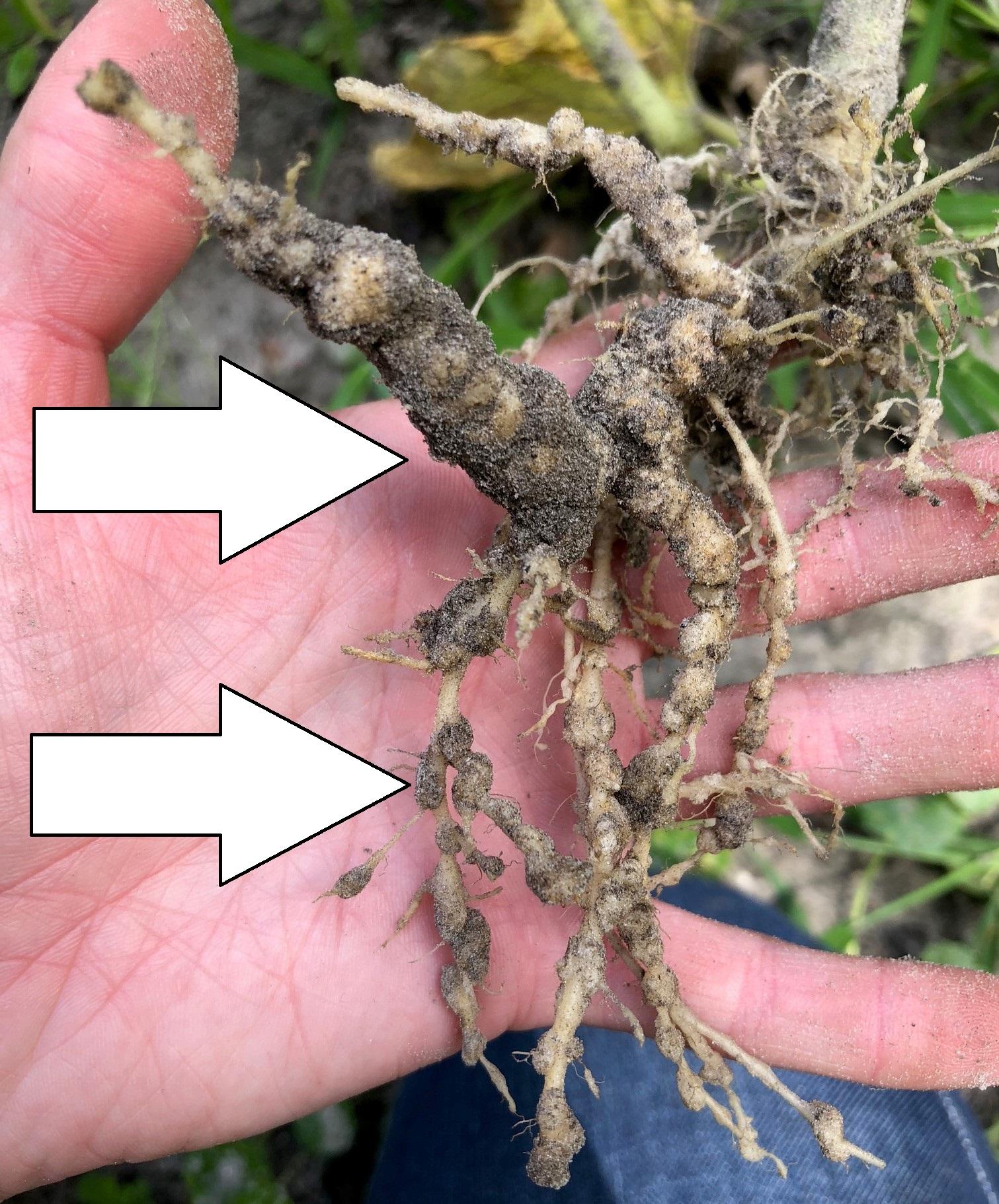 Beware of Root-Knot Nematodes in Your Garden | Gardening ...
