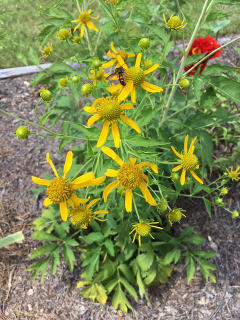 Not Your Typical Coneflower – Cutleaf Coneflower Rudbeckia lacineata
