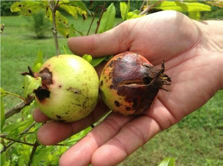 Pomegranate fruit affected by anthracnose.