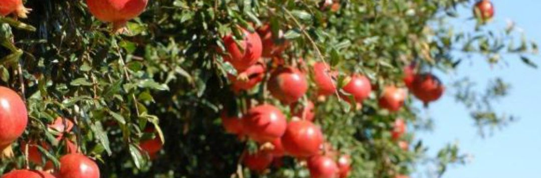 Pomegranates in the Panhandle