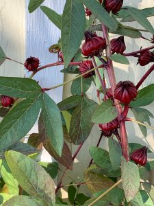 Roselle leaves and fruit.