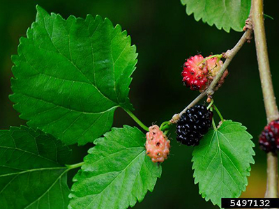 Dancing Around Fruit? – The Mulberry