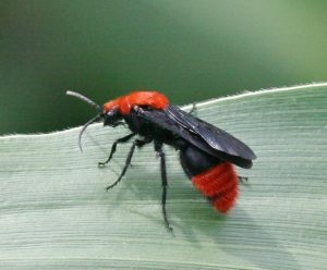 This velvet ant (Dasymutilla occidentalis) is a male, and therefore has wings, but no stinger. Photo by Johnny N. Dell, Bugwood.org.