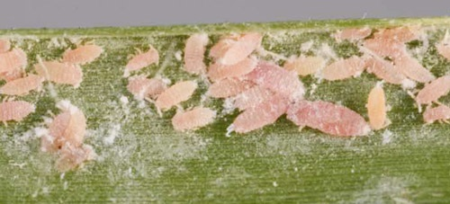 Population of adult and immature tuttle mealybugs (Brevennia rehi) on a blade of zoysiagrass.
