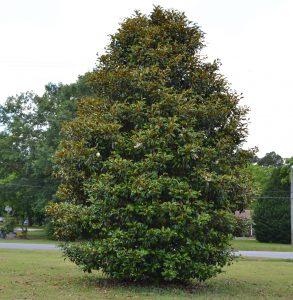 cultivar magnolia