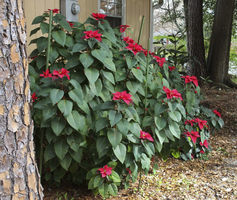 Don't Say Goodbye to the Poinsettia