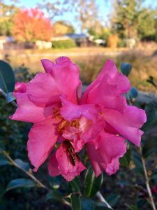 Dark pink sasanqua camellia bloom