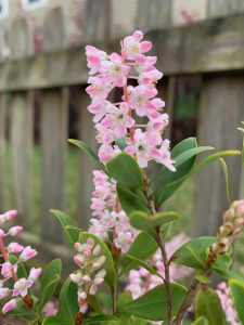 Evergreen shrub with spikes of pink flowers.