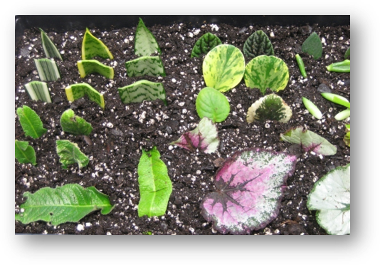 Plants being propagated by leaf cuttings.