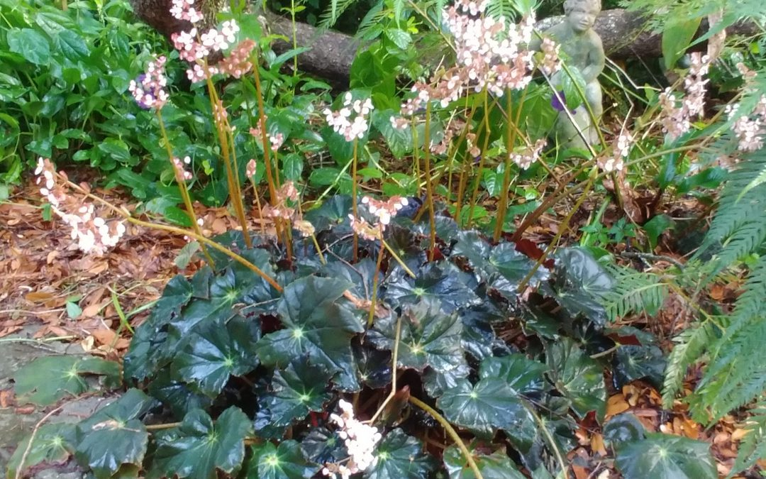 Perennial rhizomatous begonias add bold texture and color to north Florida gardens