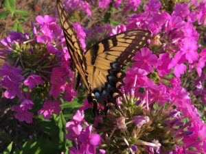 Yellow giant swallowtail butterfly on pink flowers of garden phlox