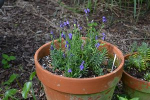 Lavender may grow best for you in a container.