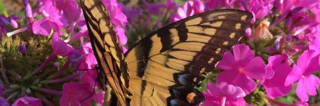 Butterfly Gardening Resources