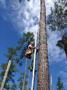 photo of biologist on a ladder next to a pine tree
