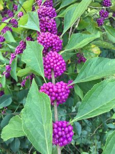 Beautyberry with clusters of bright purple berries