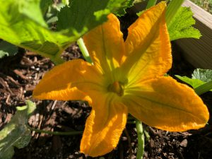 Black beauty zucchini blossom in the morning sun. Photo by Molly Jameson.