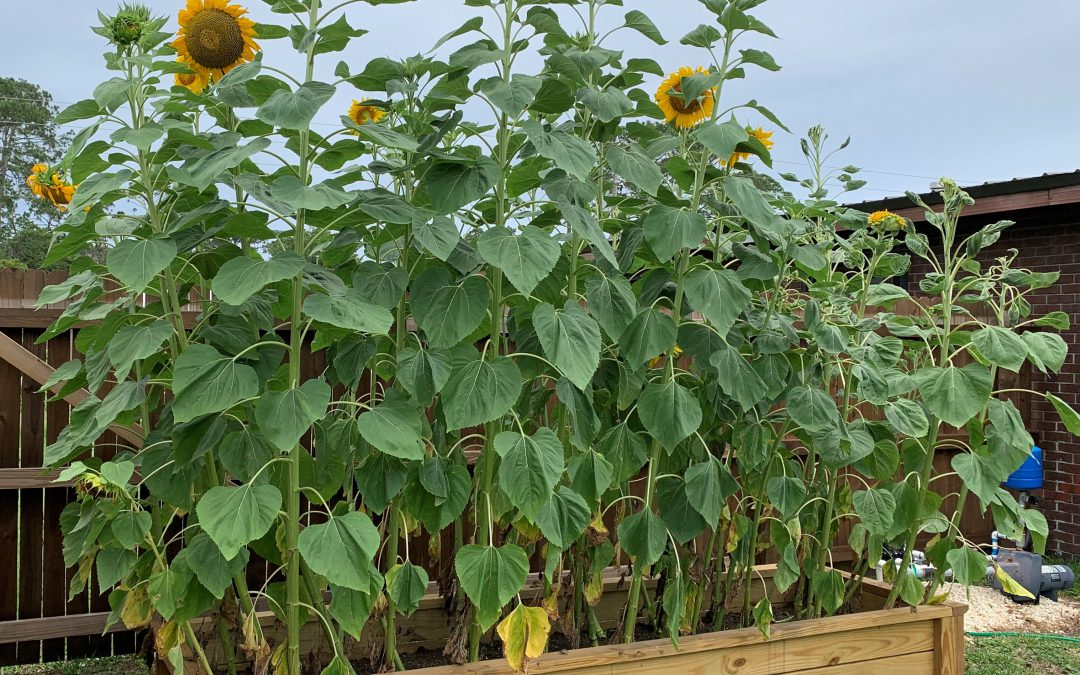 It's Almost Never Too Late for Sunflowers