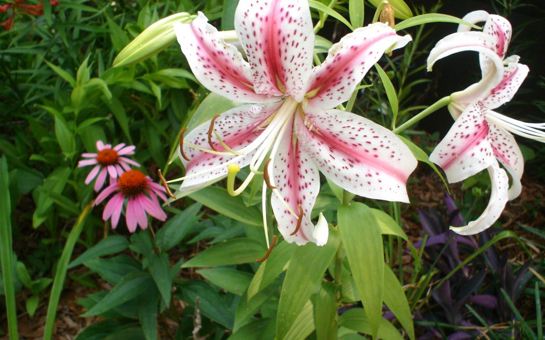 Video: Lilies in the Coastal South