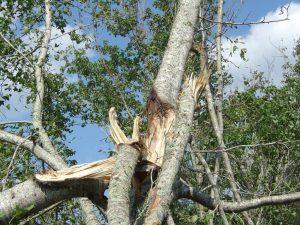Severly damaged sweetgum tree from hurricane winds