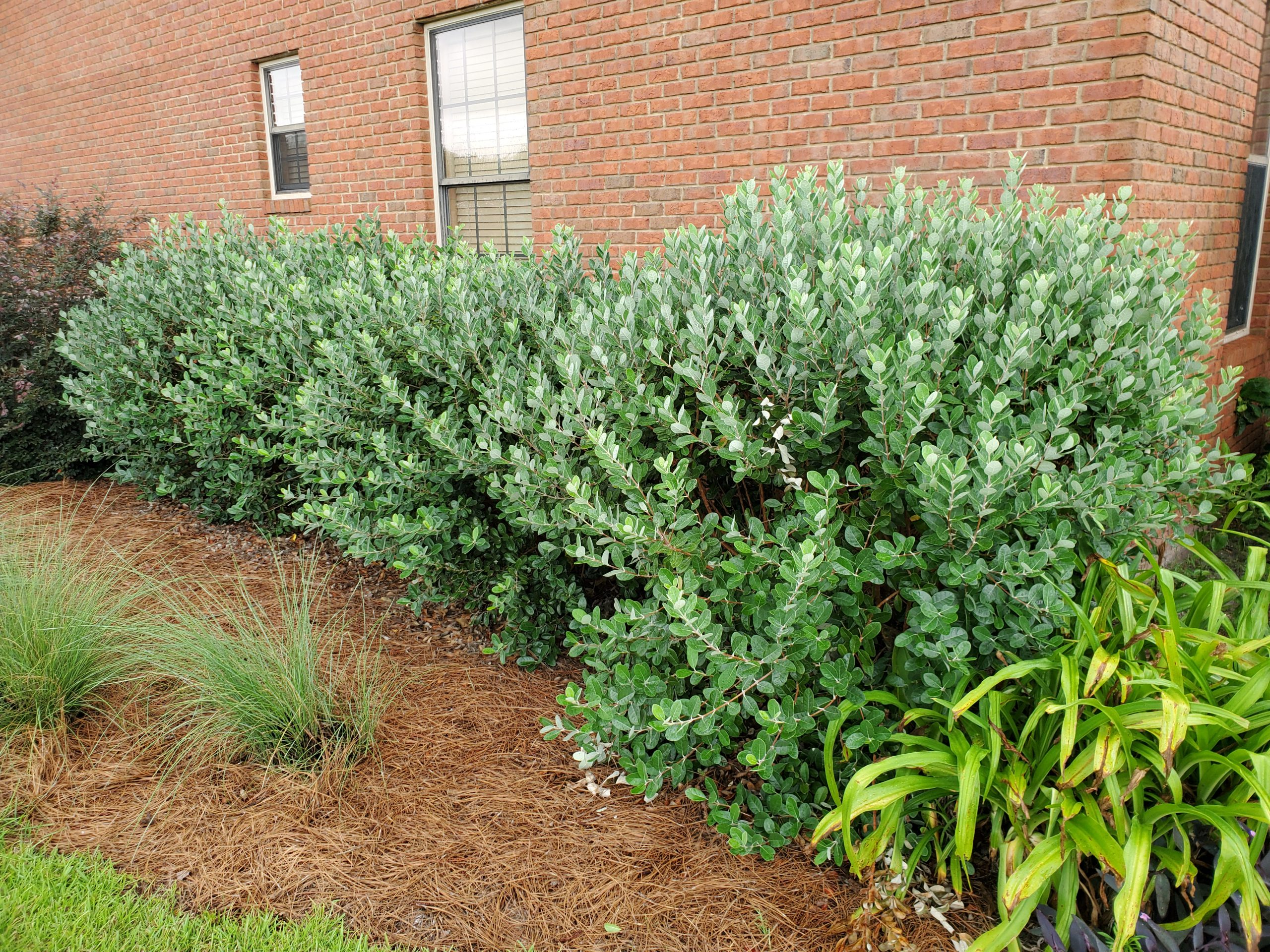 Pineapple Guava An Outstanding Florida Friendly Shrub Gardening In The Panhandle