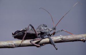 Wheel bugs have large beaks and a distinctive semicircular crest on their backs resembling a cogwheel. Photo by Gerald J. Lenhard, Louisiana State University, Bugwood.org.