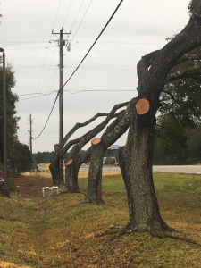Overpruned trees along powerline