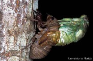 Cicada emerging from exoskeleton