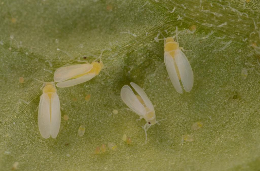 Whiteflies, Whiteflies, Whiteflies