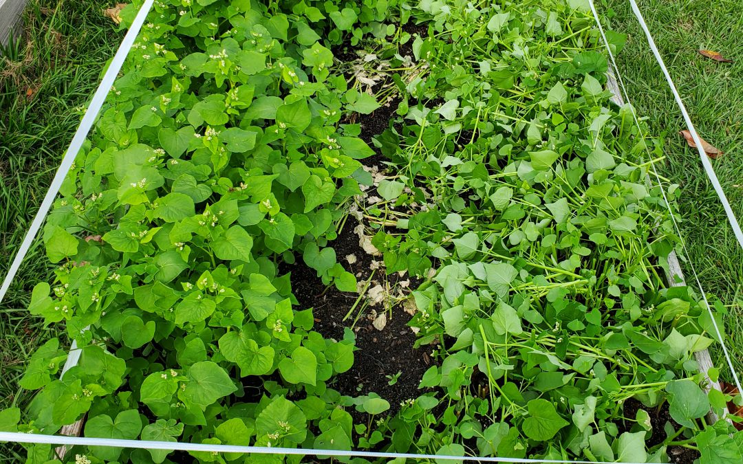 Using a Buckwheat Cover Crop in Raised Bed Gardens