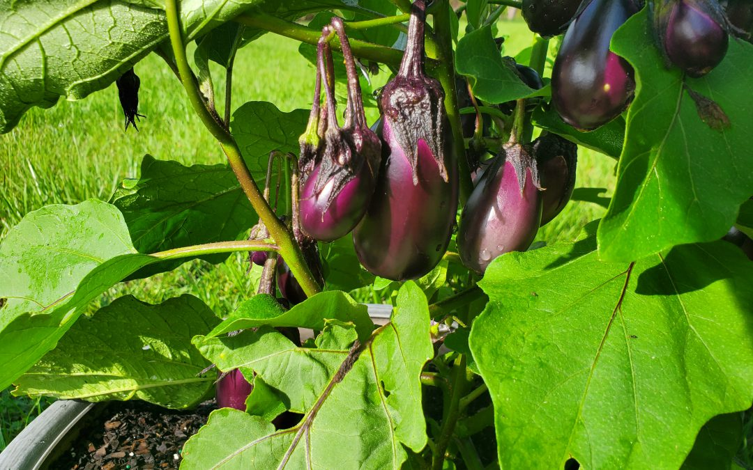 'Patio Baby': An Eggplant for Any Space
