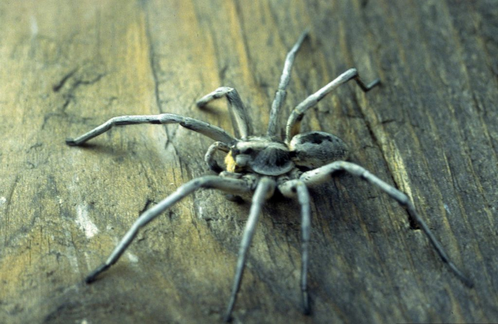The Carolina wolf spider (Hogna Corolinensis) is the largest wolf spider, measuring up to 22-35 mm. It is the state spider of South Carolina, the only state that recognizes a spider as a state symbol. Photo by Eugene E. Nelson, Bugwood.org.