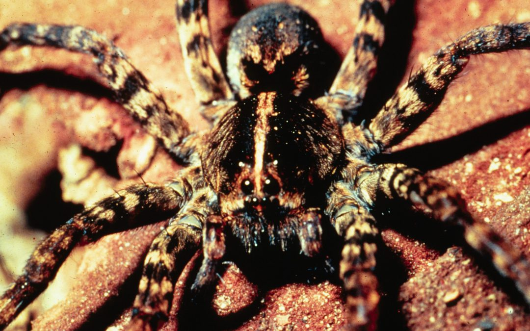 Full Moon Fever: Wolf Spiders and Werewolves