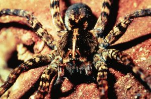 Although most spiders have poor eyesight, wolf spiders have excellent vision, which they use to spot prey. Photo by James O. Howell, University of Georgia, Bugwood.org.