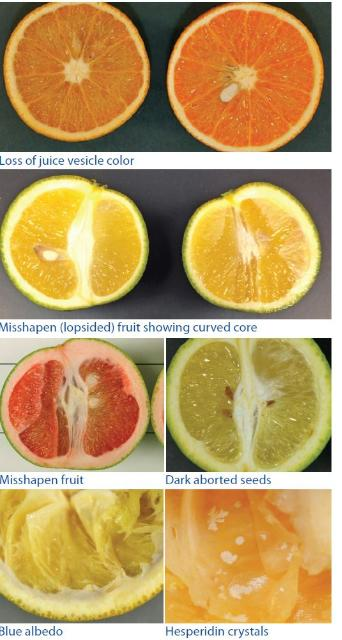 A graphic of various citrus greening symptoms.