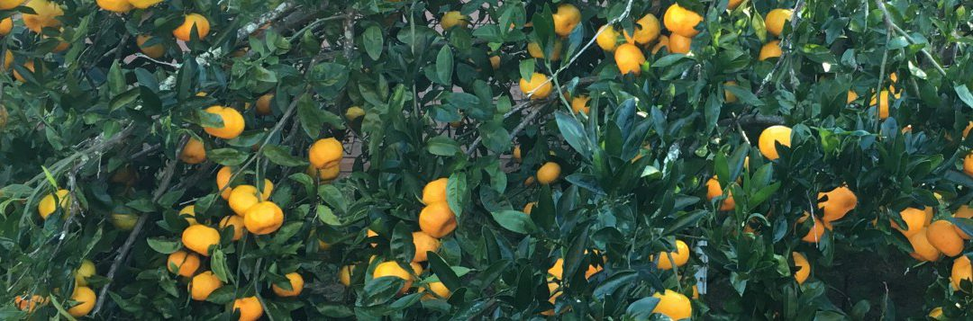 Satsuma Harvest Season in North Florida