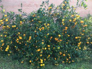 Nice crop of satsuma fruit