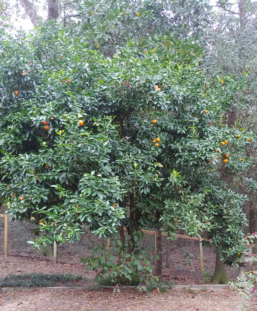 A tangerine tree on a sour orange rootstock that is producing fruit on the left hand side of the tree.