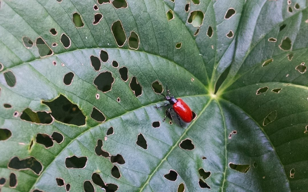 Biological Control of Air Potato by a Beneficial Beetle