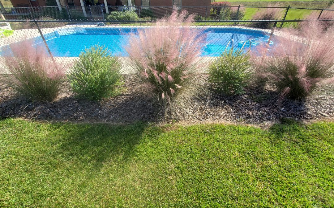 A Landscape Combo for Native Fall Color:  Muhly Grass & Darrow's Blueberry
