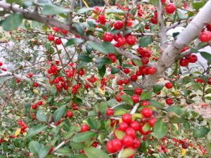 Native yaupon holly with bright red berries