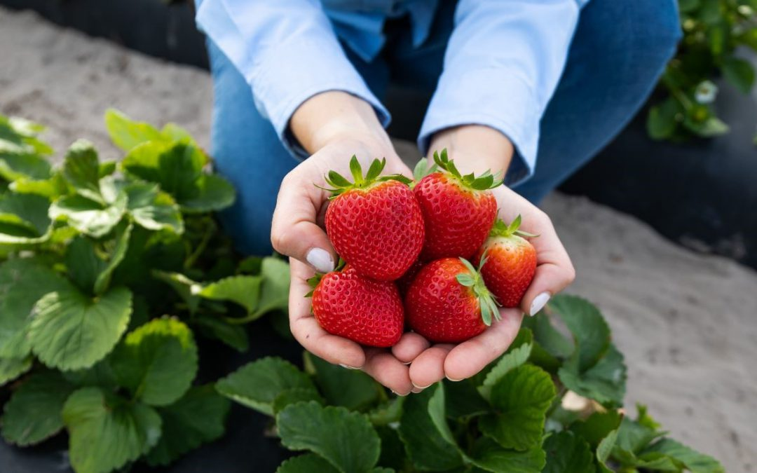 Strawberries, a Cold Hardy Delight in Florida