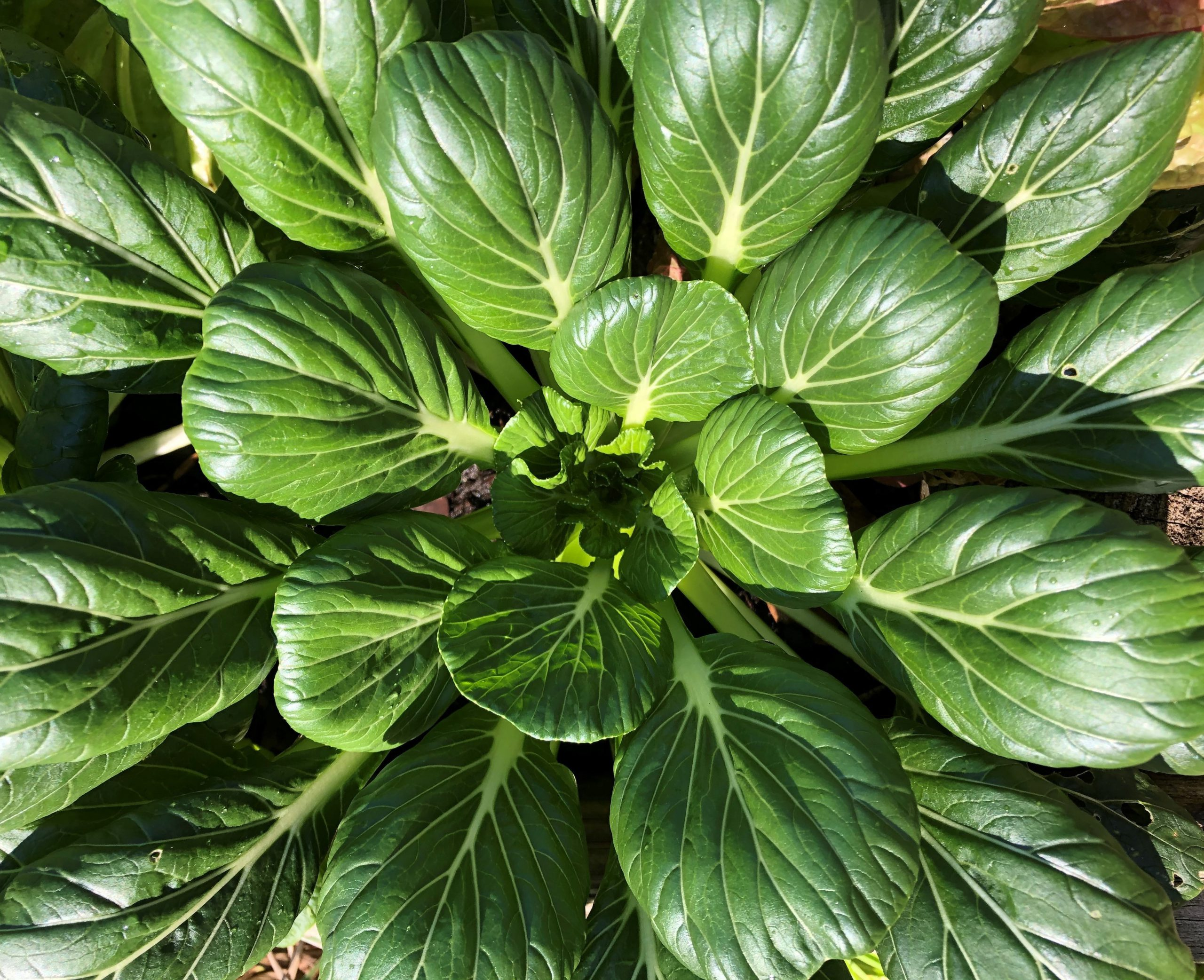 Tatsoi is a low-growing green with spoon-shaped, dark-green leaves. Photo by Molly Jameson.