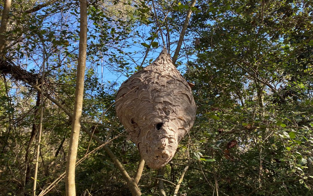 Natural Ornaments – Preserving Hornet Nests