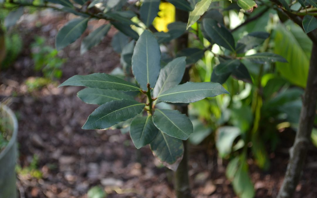Bay Laurel: An Attractive Culinary Addition for Your Landscape