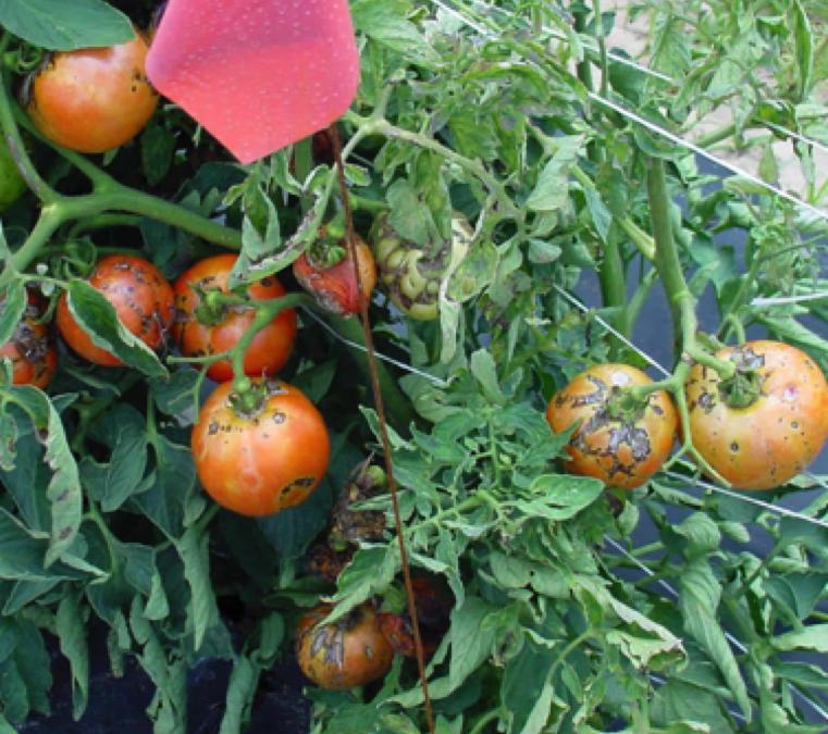 Home Gardeners Plan Ahead – Plant Resistant Tomatoes