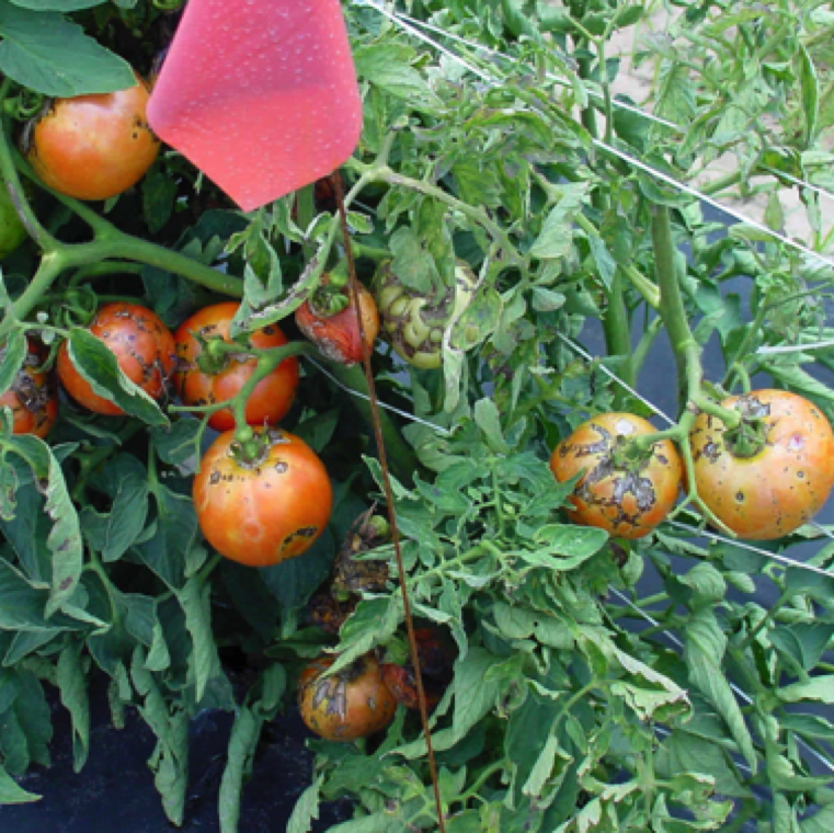 Tomato spotted wilt affects tomatoes, and numerous other vegetables, ornamentals, field crops and weeds. The disease can cause significant yield losses of tomato. Image Credit UF/IFAS Plant Pathology UScout Site